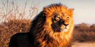 Foto de um leão na savanas africanas, Declaração do Imposto de Renda 2020: conheça as mudanças